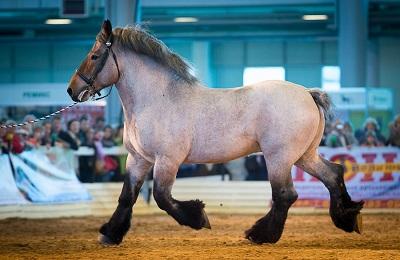 Бельгийский конь