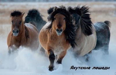 Якутские кони