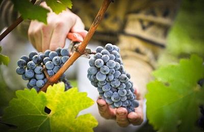 Срезание грозди