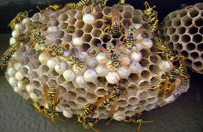 Осинное гнездо