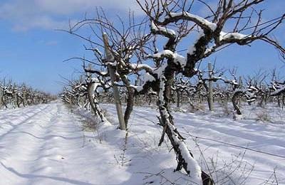 Лоза зимой