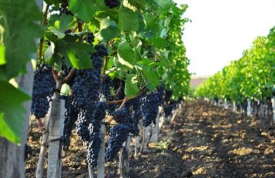 Промышленные виноградники
