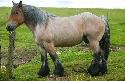 Арденский конь