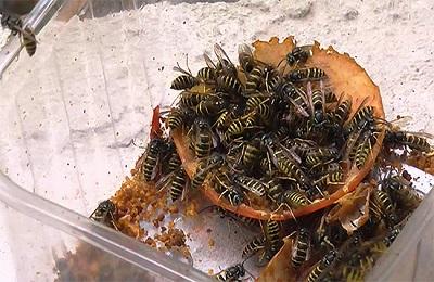 Приманка для насекомых