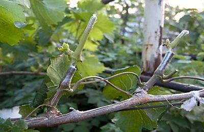 Как прививать виноград весной, летом, осенью, зимой