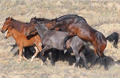 Спаривание коней