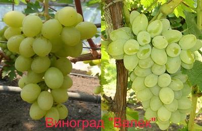 Вс самое важное о сорте винограда Валек