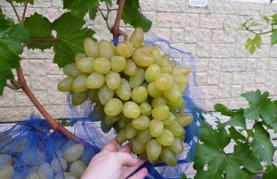 Винограда Бажена