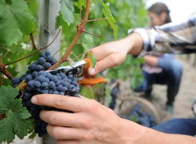 прореживание гроздей винограда