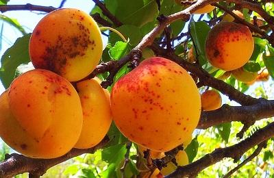 Пятнистость плода