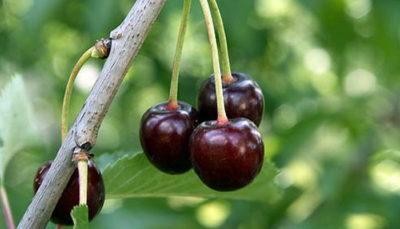 Ветка с вишнями