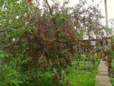 Дерево вишни Любская