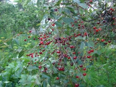Вишня Владимирская дерево