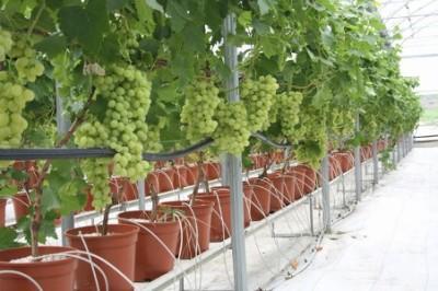капельное орошение винограда