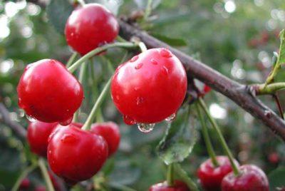 Сорт вишни Стандарт Урала