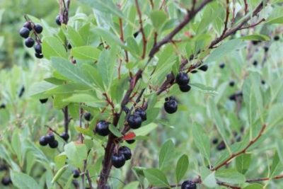 Дерево вишня бессея