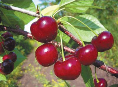 Апухтинская вишня