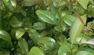 Листья айвы