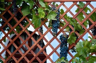 Декоративная шпалера для винограда