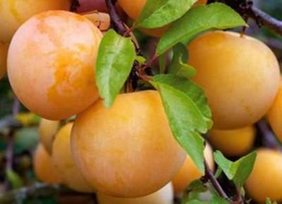 Плоды желтой алычи на ветке