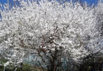 Дерево алычи цветет