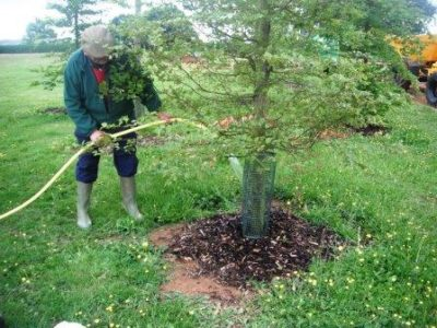 Полив вишни