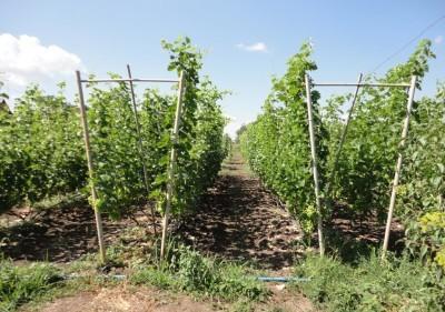 Двухплоскостная шпалера для винограда