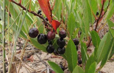 Плоды вишни бессея
