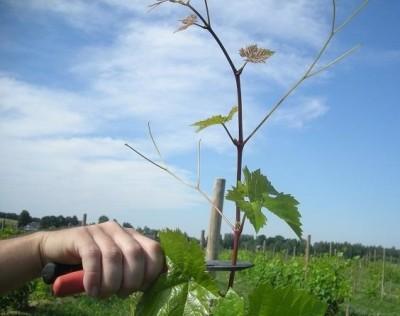 обрезка верхушки винограда