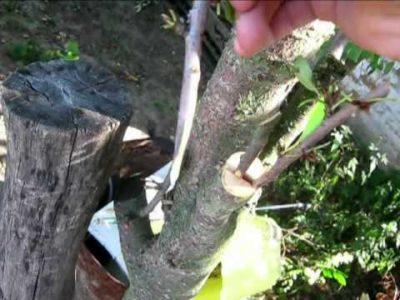 Прививка вишни