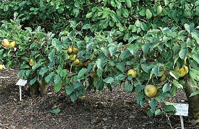 Яблоня стланцевая