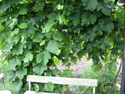 запущенный виноград