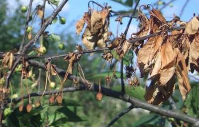 Заболевание вишни