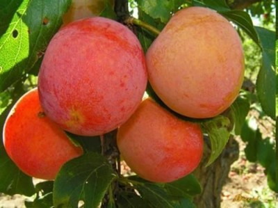 Плоды алычи на ветке