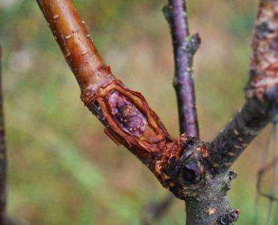 Прививка вишни на черешню