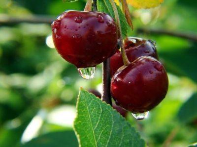 Капля на вишне