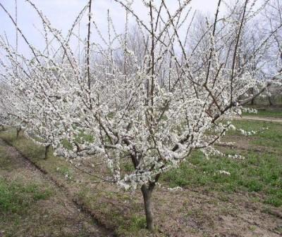Дерево алычи в цветении