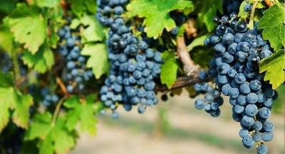 Одесский черный виноград