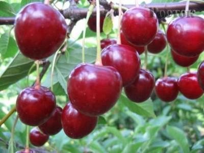 Плоды вишни красные