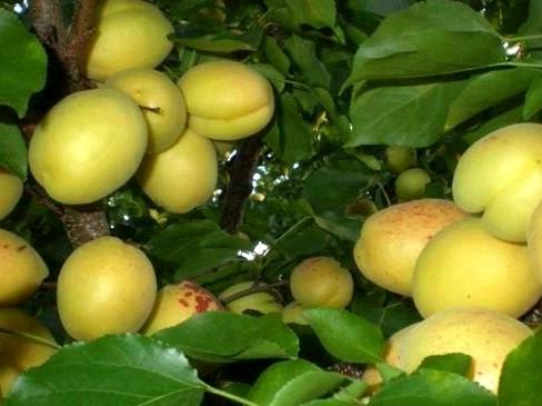 Сбор недозревших абрикос