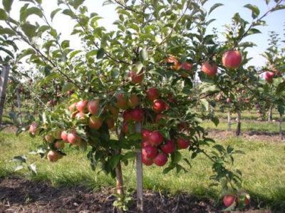 подпорка для карликовых яблонь