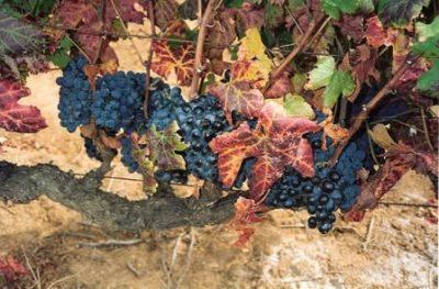 Сухие листья винограда