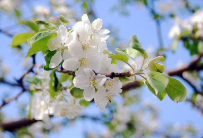Цветки яблони