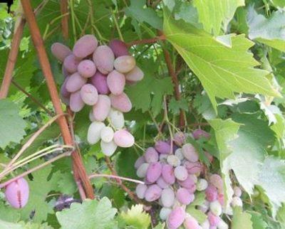 Треснутый виноград