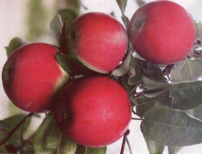 Яблоки Квинти