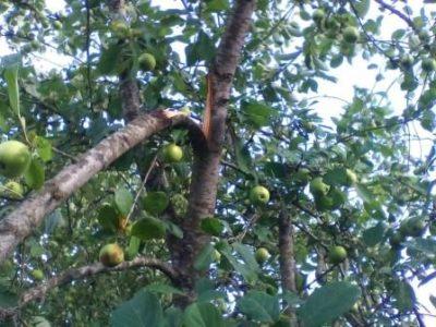 Сломанная ветка яблони