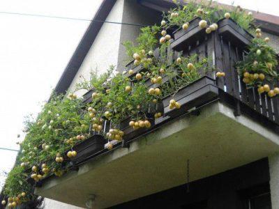 Пепино на балконе