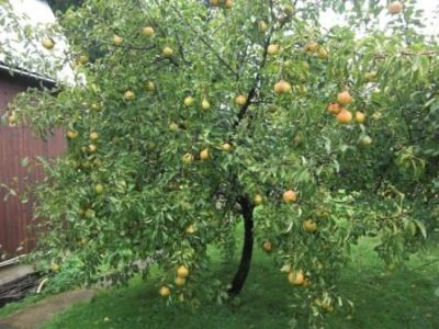Дерево груши Яковлева