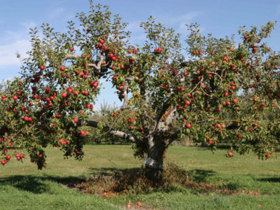 овощи под яблоней