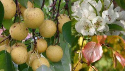 Уссурийская груша плоды